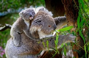 Koala carrying Baby